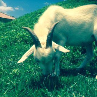 280824_goat.jpg