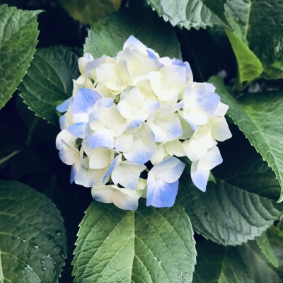 紫陽花(一)