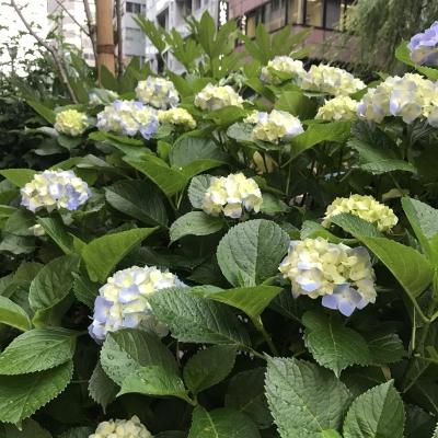 紫陽花(二)