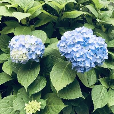 紫陽花(三)
